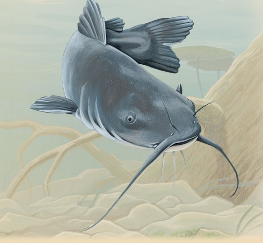 blue-catfish