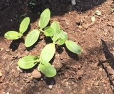 white zucchini